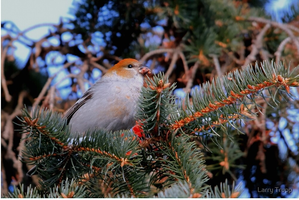 Female Pine Grosbeak by Larry Trupp