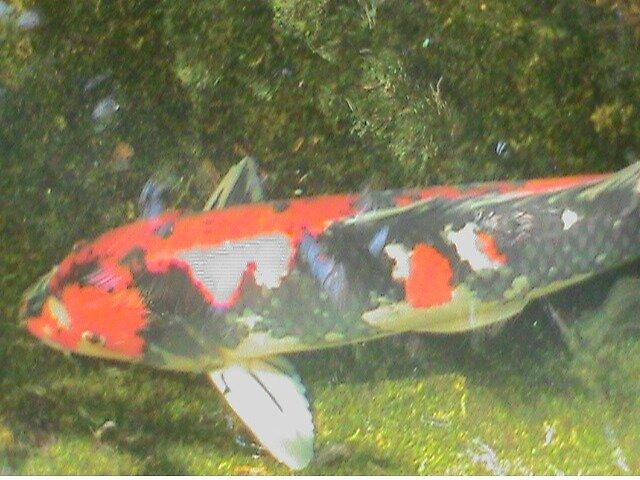 huge koi fish by beckalbright