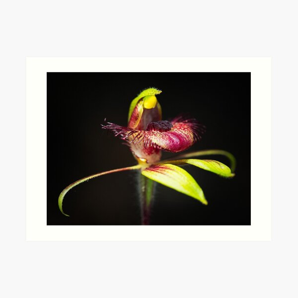 Dancing Spider Orchid Art Print