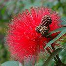 Red Bottlebrush Flower - Callistemon - Hong Kong by LindyLouMac