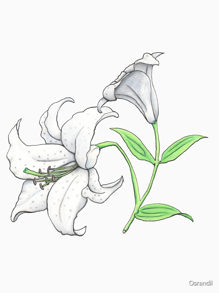 Lily (Lilium x cultorum 'Casablanca') by Osrandil