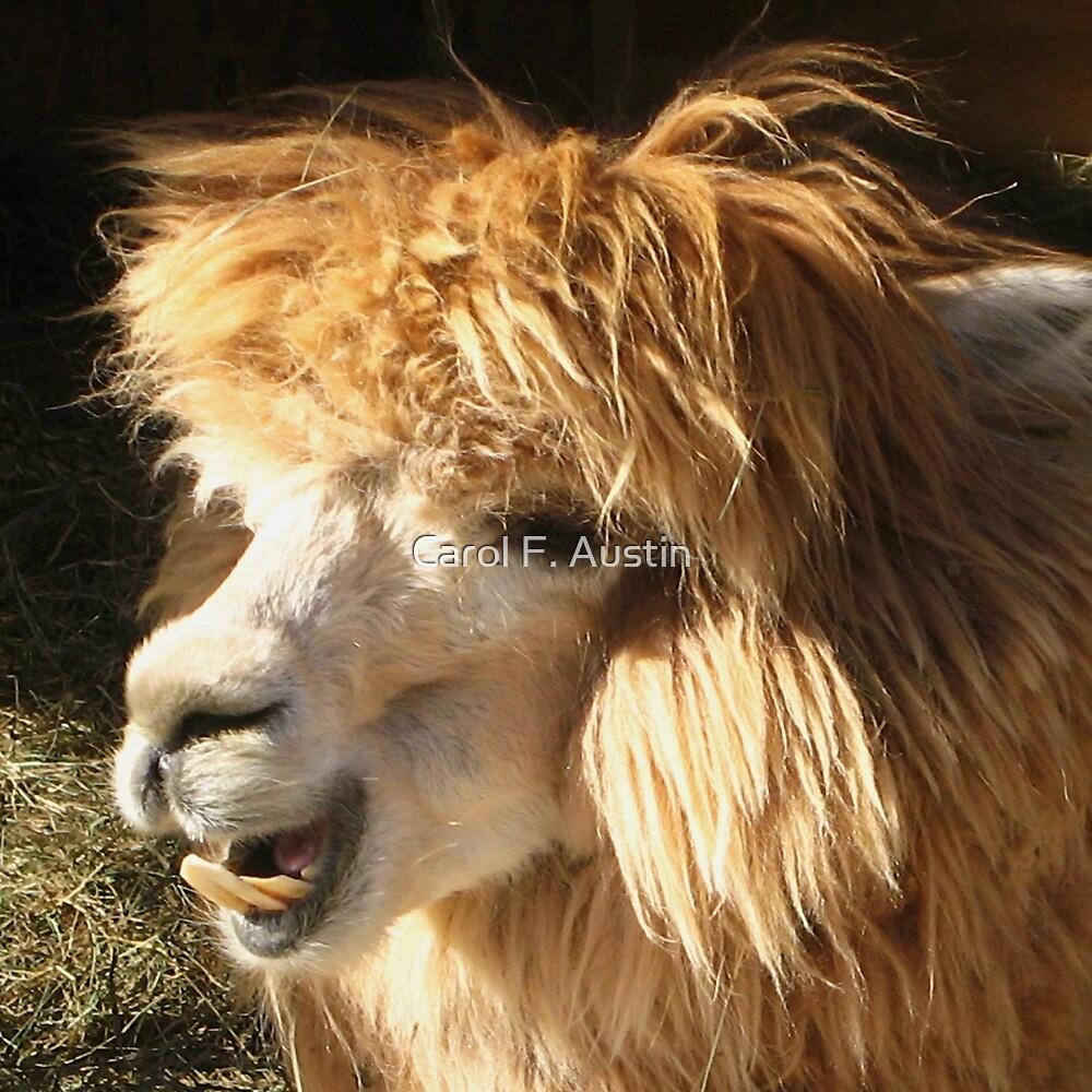 Llama having a Good Hair Day by Carol F. Austin