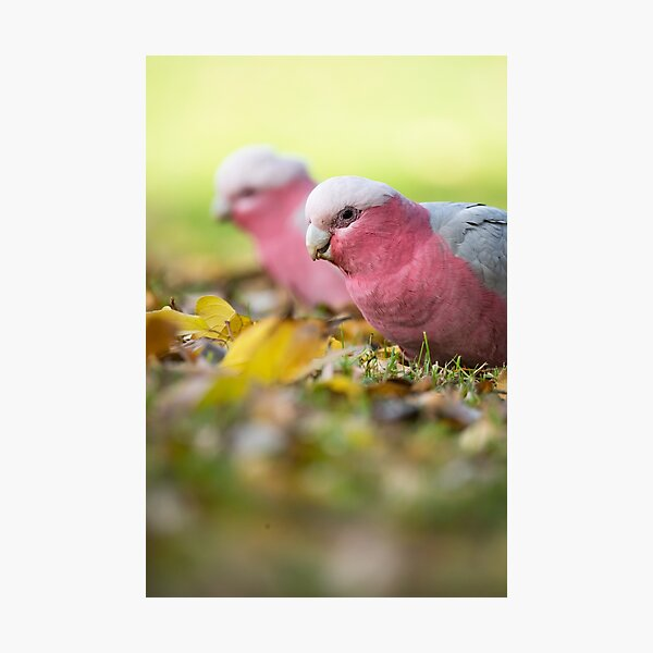Pair of Galahs Foraging in Autumn Leaves Photographic Print