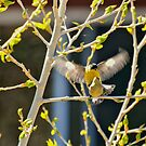 Springtime Mating Pair Of Lesser Goldfinches by K D Graves Photography