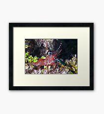 Mini shrimp Framed Print