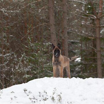 Belgian Shepherd Malinois by markku
