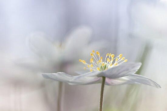 Addictive wood anemone.. by Bob Daalder