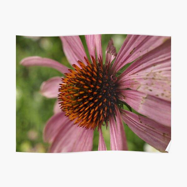 spiky orange pink flower Poster