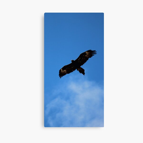 wedge-tailed eagle at FORTH Canvas Print