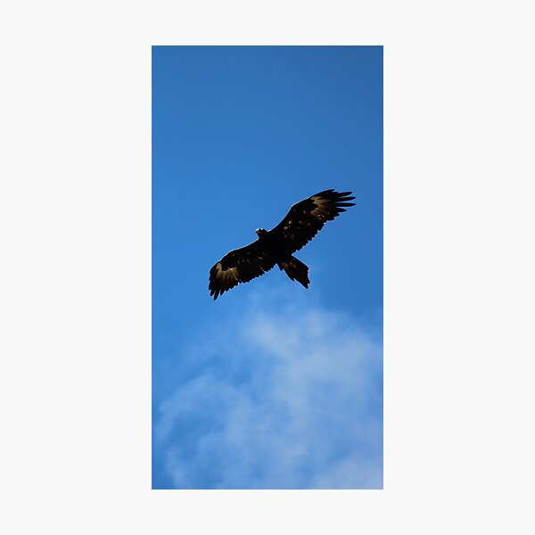 wedge-tailed eagle at FORTH Photographic Print
