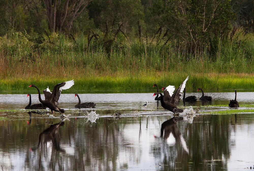 Swan Territorial Warfare by byronbackyard