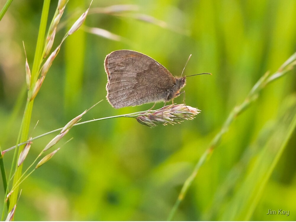 Butterfly Olney Meadows  by Jim Key