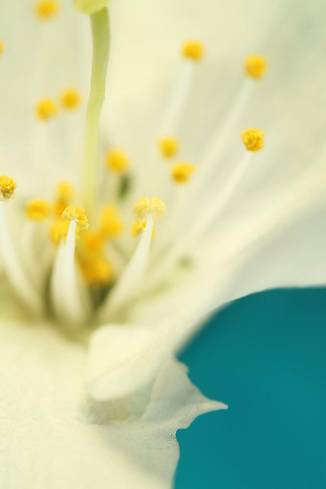 Blossom White Against Blue by Sharon Johnstone