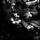 Cotoneaster Berries by Karen E Camilleri