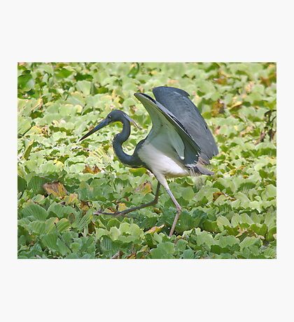 Tip Toeing Through the Swamp! Photographic Print
