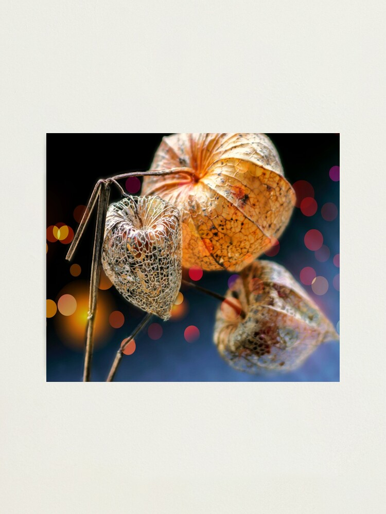 Alternate view of Chinese Lantern Husk Photographic Print