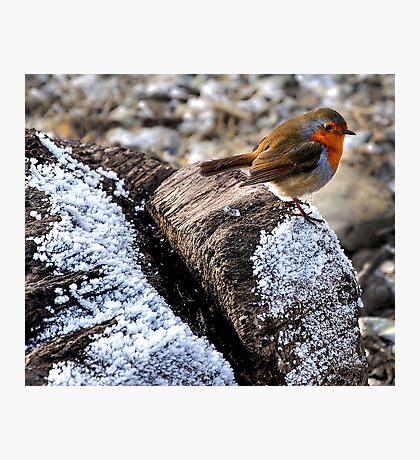 Robin ( The angel of birds ) Photographic Print