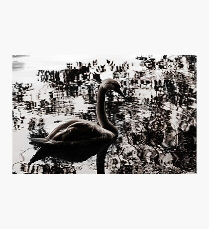 The Lonely Swan Photographic Print