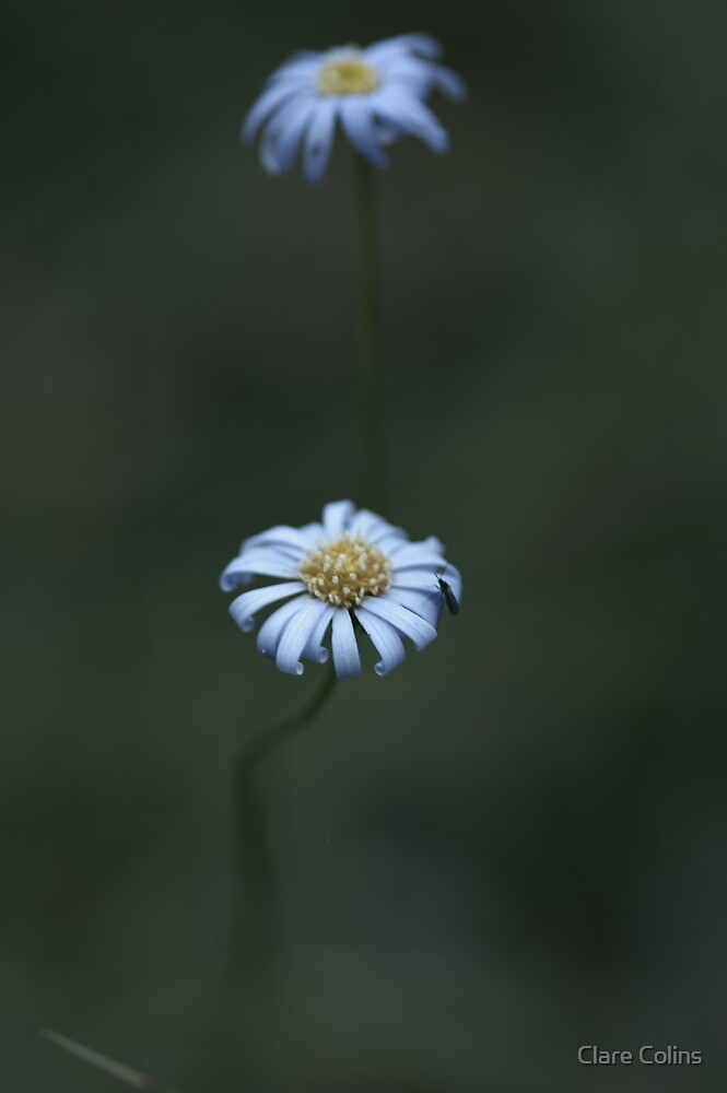 Australian Native Daisies by Clare Colins