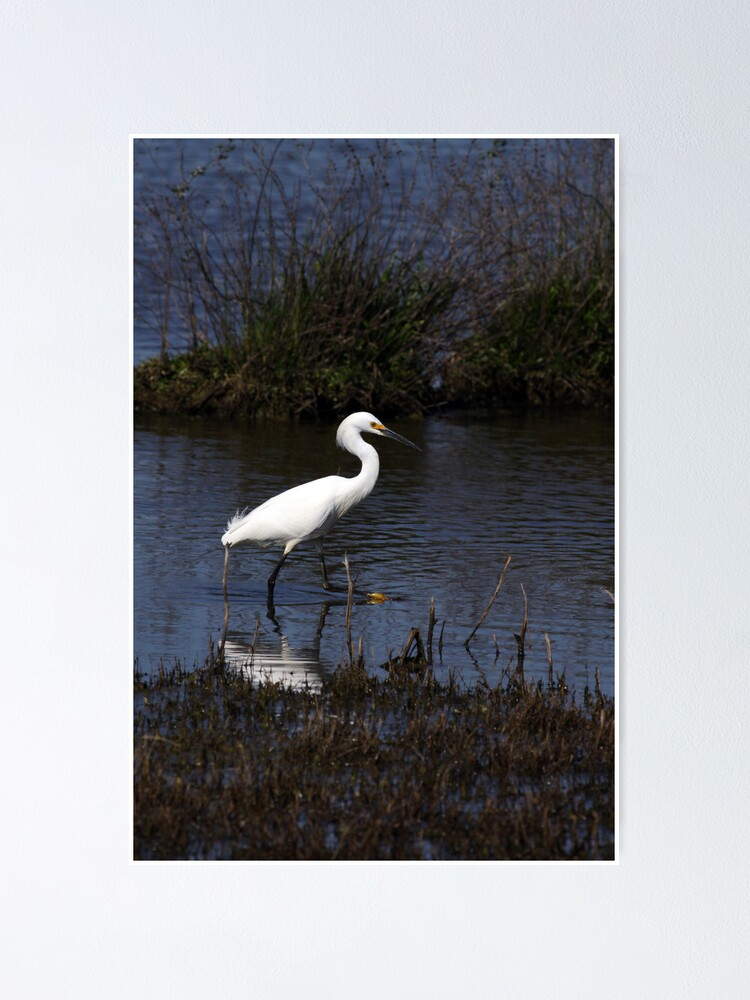 Alternate view of Snowy Egret Poster