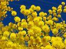 Acacia - Golden Wreath Wattle Flower  by DPalmer