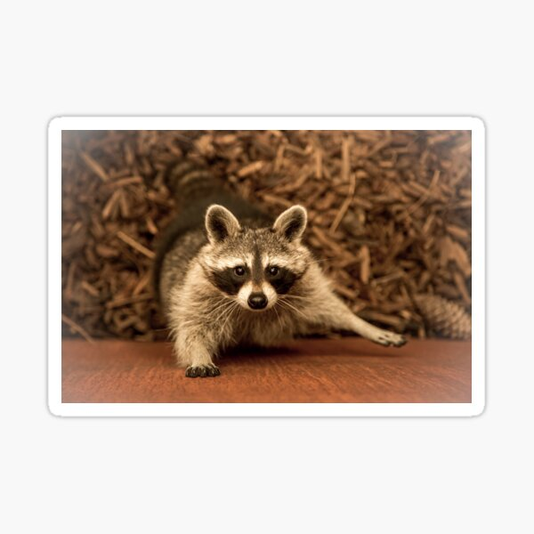 Raccoon, animal photography (wildlife) Sticker