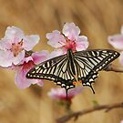 swallowtail and peach blossom by davvi