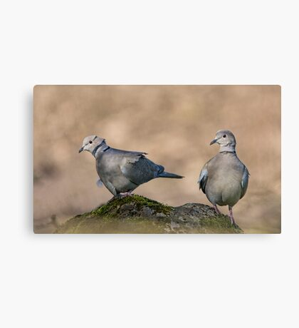 Collared Doves Canvas Print