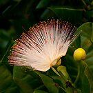 Wild Beach Flower by Clive S