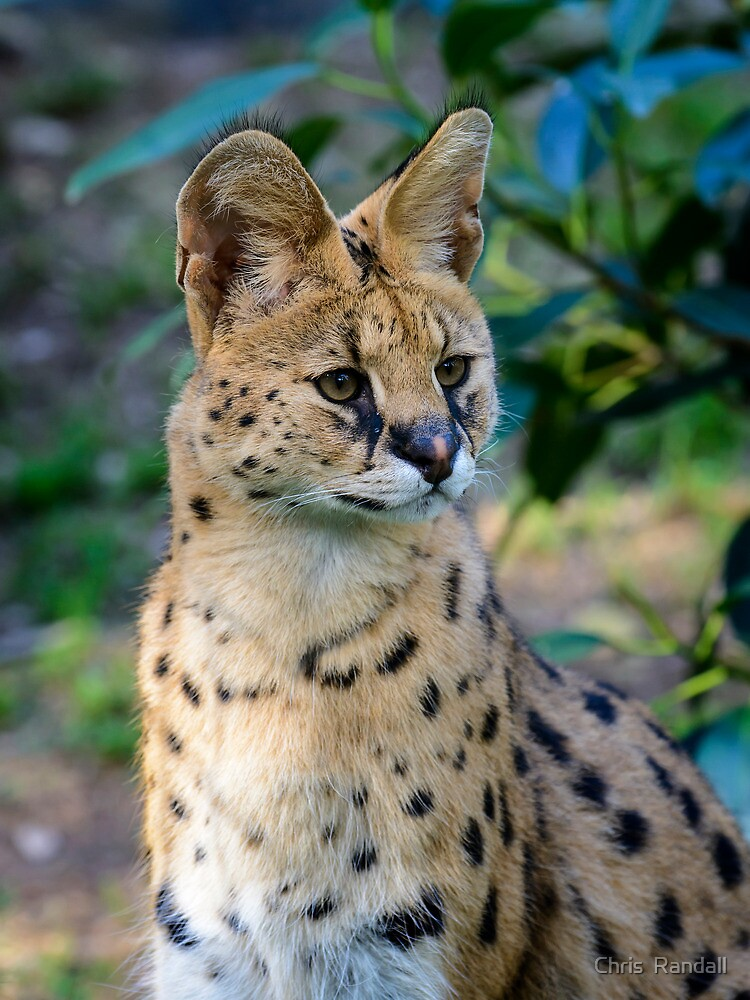 Big cheetah-like cat captured in Reading - The Morning Call