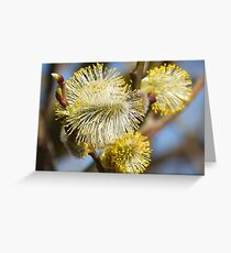 Willow Catkins Greeting Card