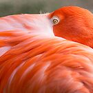 Shy Pink Flamingo by cadman101