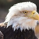 Bald Eagle profile 02 by cadman101