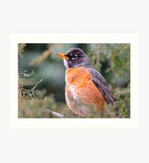 Red Breast Robin 3 Art Print