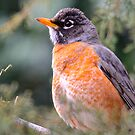 Red Breast Robin 3 by NatureGreeting Cards ©ccwri