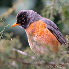 Robin by NatureGreeting Cards ©ccwri