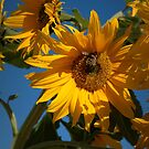 Sunflower And Bees by K D Graves Photography