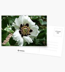 Chinese Tree Peony Postcards