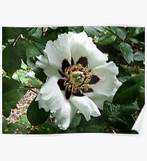 Chinese Tree Peony Poster
