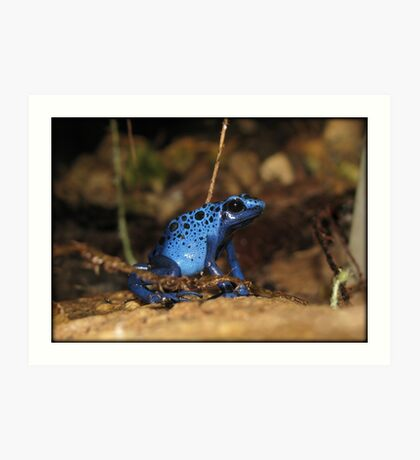 Poison Dart Frog ~ Sapphire Blue  Art Print