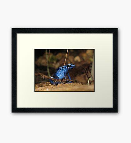Poison Dart Frog ~ Sapphire Blue  Framed Print