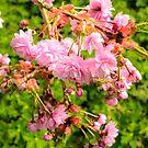 Japanese cherry blossom by 7horses