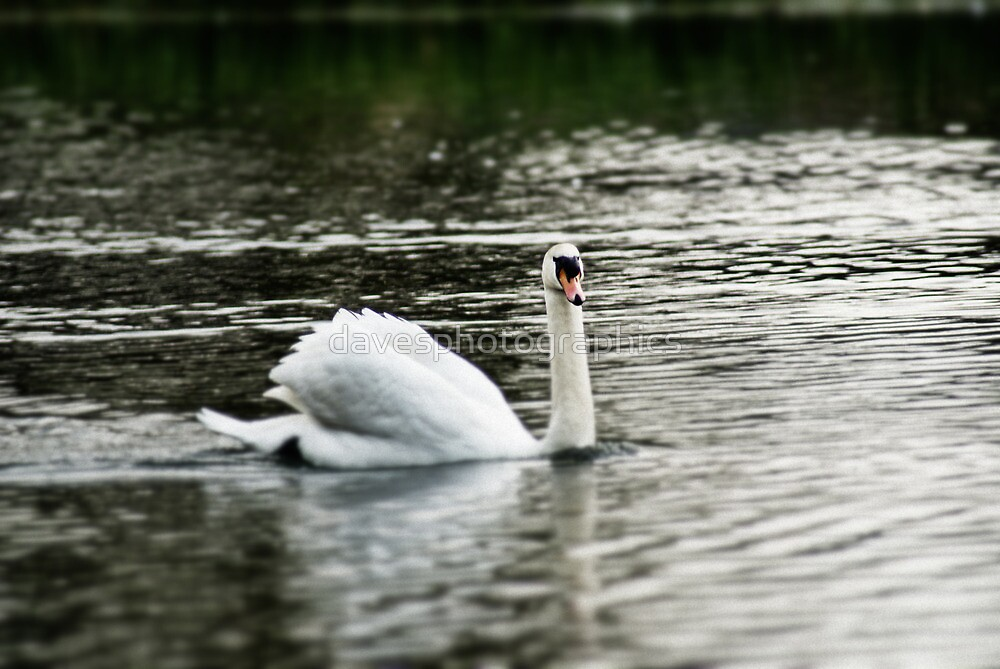 Swan swimming  by davesphotographics