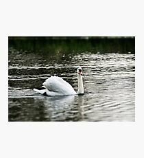 Swan swimming  Photographic Print
