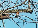 Young Bluebird by FrankieCat