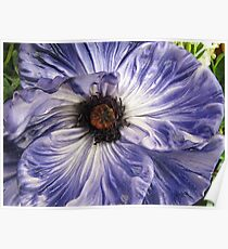 Phony Purple Poppy  Poster