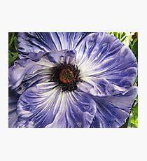 Phony Purple Poppy  Photographic Print
