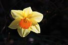 Daffodil by John Dalkin
