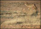Coyote Watch by Kimberly Chadwick