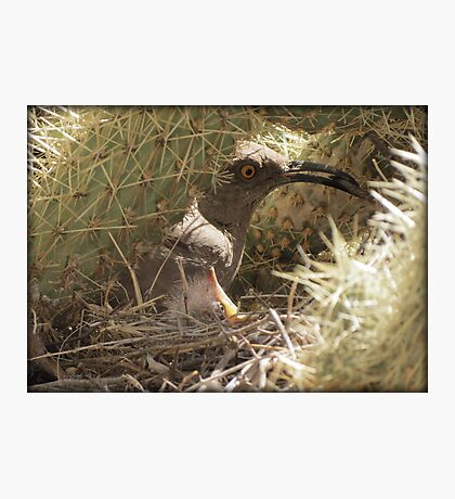 Curved-billed Thrasher with Gentle Babe Photographic Print